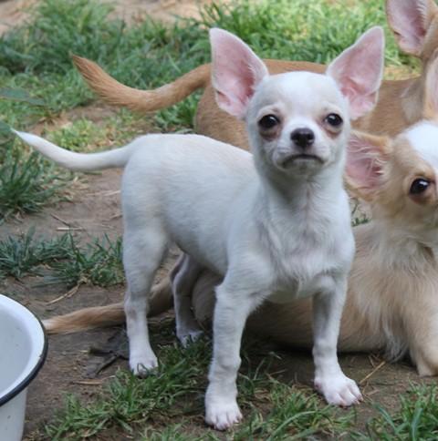 http://www.dogchihua.ru/kids/IMG_19160.jpg